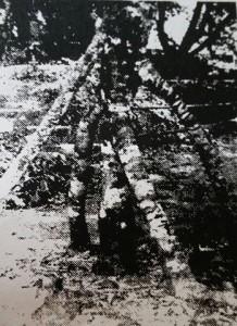Rambutan Tree 1