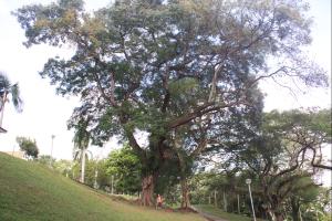 YY Saga Tree