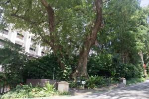 Sentosa Tree